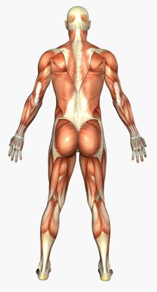 Anatomisches Bild eines trainierten mnnlichen Rckens (Quelle: Shutterstock/Linda Bucklin)