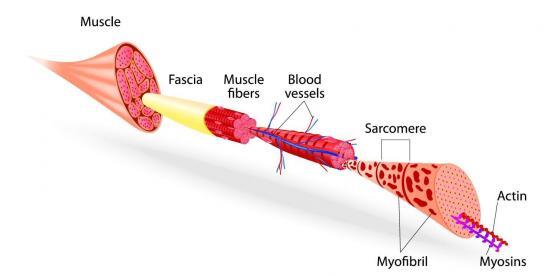 Aufbau eines menschlichen Muskels (Quelle: Shutterstock/Designua)