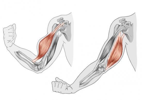 Armmuskel in der Bewegung (Quelle: Shutterstock/stihii)