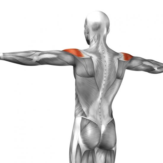 Schultermuskeln