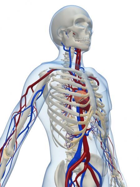 Blutbahnen im menschlichen Oberkörper (Quelle: Shutterstock/Sebastian Kaulitzki)