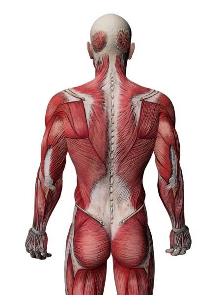 Trainierter Rücken (Quelle: Shutterstock/ancroft)