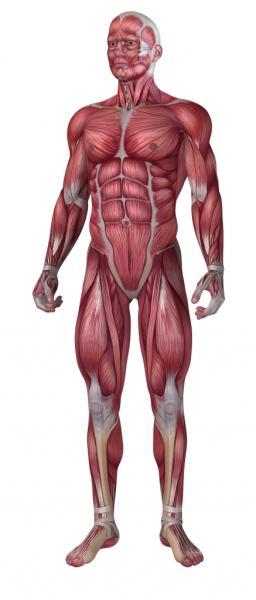 Menschliche Muskeln (Quelle: Shutterstock/Sebastian Kaulitzki)