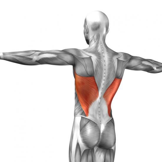 Rückenmuskeln